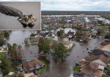 Louisiana alligator in Hurricane Ida attack found with human remains in stomach